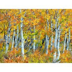 Weatherproof Canvas Art - Trunks Of Aspen Trees