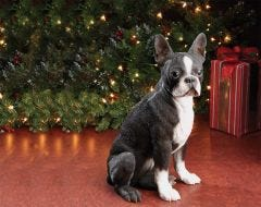 Boston Terrier Dog Statue